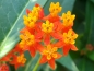 Mobile Preview: Indianer-Seidenpflanze - Asclepias curassavica