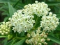 "Preview: Seidenpflanze - Asclepias incarnata  ""Ice Ballet"""