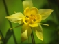 Preview: Gelbe Akelei - Aquilegia chrysantha 'Yellow Queen'