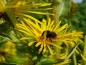 Mobile Preview: Hoher Alant - Inula magnifica
