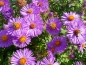 Preview: Aster novae - angliae 'Harrington's Pink'