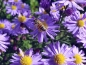 Preview: TW Blaue Kissenaster - Aster dumosus 'Lady in Blue'