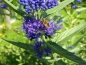 Mobile Preview: Bartblume - Caryopteris clandonensis