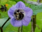Preview: Blaue Ballonblume - Nicandra physalodes