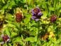 Preview: Kleine Braunelle - Prunella vulgaris