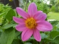 Mobile Preview: Dahlia Topmix Rosa