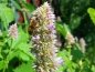 Ostasiatische Riesenysop - Agastache rugosa