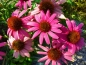 Preview: Purpur Sonnenhut Echinacea purpurea