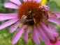Mobile Preview: Purpur Sonnenhut Echinacea purpurea