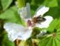 Preview: Echter Eibisch - Althaea officinalis