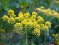 Preview: Fenchel - Foeniculum vulgare