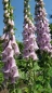 Preview: Fingerhut - Digitalis purpurea