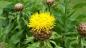 TW Gelbe Riesen Flockenblume - Centaurea macrocephala