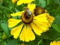 Preview: elbe Herbst-Sonnenbraut -  Helenium autumnale