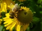 Mobile Preview: Gelbe Herbst-Sonnenbraut -  Helenium autumnale
