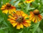 Preview: Rot-Gelbe Herbst-Sonnenbraut -  Helenium autumnale