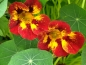 "Preview: Kapuzinerkresse ""Bloody Mary"" - Tropaeolum"