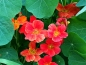 Mobile Preview: Kapuzinerkresse 'Whirlybird Mixed' - Tropaeolum majus