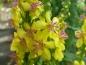 Preview: Kleinblütigen Königskerze - Verbascum thapsus