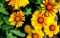 Preview: Wilde Kokardenblume - Gaillardia aristata