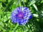 Mobile Preview: Kornblume - Centaurea cyanus