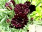 Mobile Preview: Kornblume Schwarz - Centaurea cyanus 'Black'