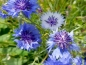 Mobile Preview: Blau Weißer Kornblumen MIX - Centaurea cyanus
