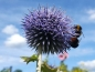 Preview: Blaue Kugeldistel - Echinops ritro