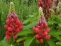 Mobile Preview: Rote Stauden Lupine - Lupinus