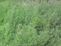 Preview: Luzerne - Medicago sativa