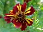 Mobile Preview: Mädchenauge - Coreopsis tinctoria 'Roulette'