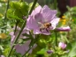 Mobile Preview: Moschus-Malve Rosa - Malva moschata
