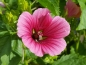 Preview: Trichtermalve - Malope trifida Multicolor