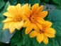 Preview: Mexikanische Sonnenblume Tithonia speciosa 'Yellow Torch'