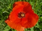 Preview: Klatschmohn - Papaver rhoeas