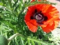 Mobile Preview: Roter Staudenmohn - Papaver orientale