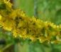 Wohlriechender Odermennig - Agrimonia odorata