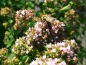 Preview: Wilder (Echter) Oregano - Origanum vulgare