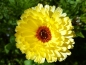 Mobile Preview: Ringelblumen MIX - Calendula officinalis