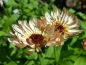 Preview: Ringelblume - Calendula officinalis