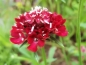 Preview: Skabiose - Scabiosa atropurpurea ''Fire King
