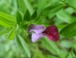 Preview: Sommer- oder Futterwicke -Vicia sativa