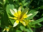 Preview: Sonnenauge - Heliopsis helianthoides var.scabra 'Venus'