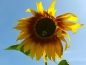 Mobile Preview: Saatgut Bicolor Sonnenblume - Helianthus annuus