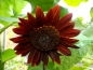 Preview: Sonnenblume Chocolat- Helianthus annuus