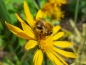Mobile Preview: Saatgut Wilde Sonnenbraut - Helenium hoopesii