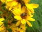 Mobile Preview: Saatgut Stauden Sonnenblume - Helianthus decapetalus