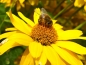 Preview: Staudensonnenblume - Helianthus decapetalus