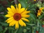 Preview: Sonnenauge - Heliopsis helianthoides var. scabra 'Summer Nights'