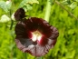 "Preview: Saatgut Schwarzrote Stockrose - Alcea rosea ""Black"""